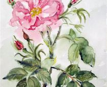 Rose (Aquarell)